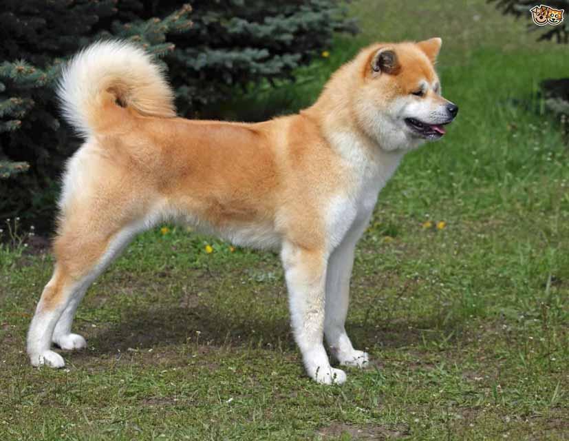 صور كلب اكيتا