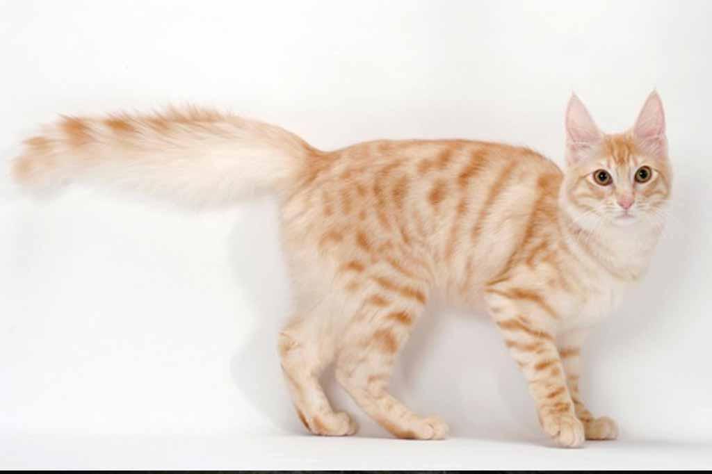 قطط انجورا له الوان اخرى غير الابيض مثل البرتقالي .. في كل الاحوال تتميز بمظهر ساحر للقلوب