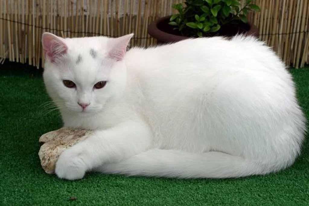 أنواع القطط البيضاء بالصور 15 نوع هل تعرفهم دليل العيادات