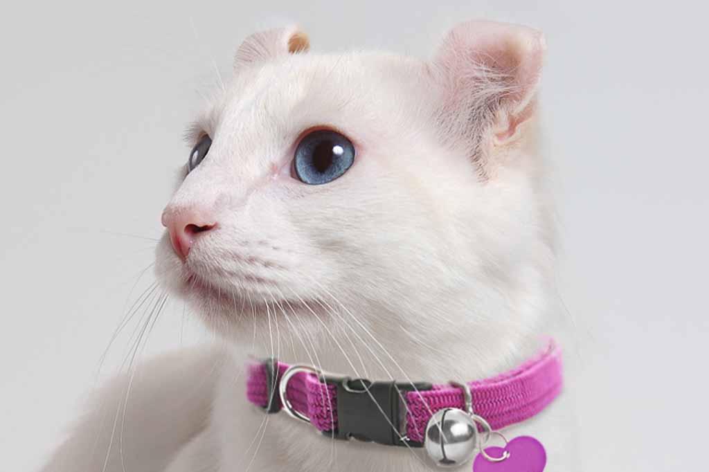 قط اميريكان كيرل القط المطوي الاذن