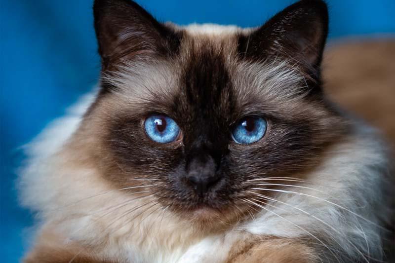 قط بيرمان من أجمل سلالات القطط ذات العيون الزرقاء
