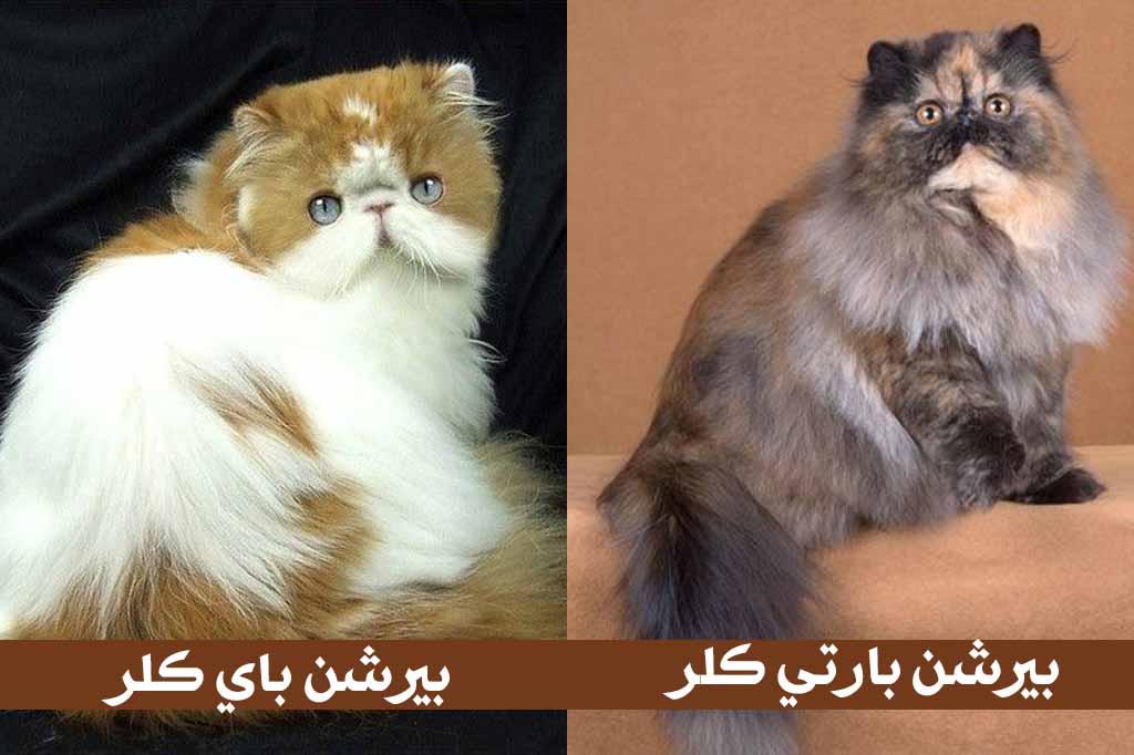 القط الشيرازى بيرشن باي كلر - قط شيرازي بارتي كلر