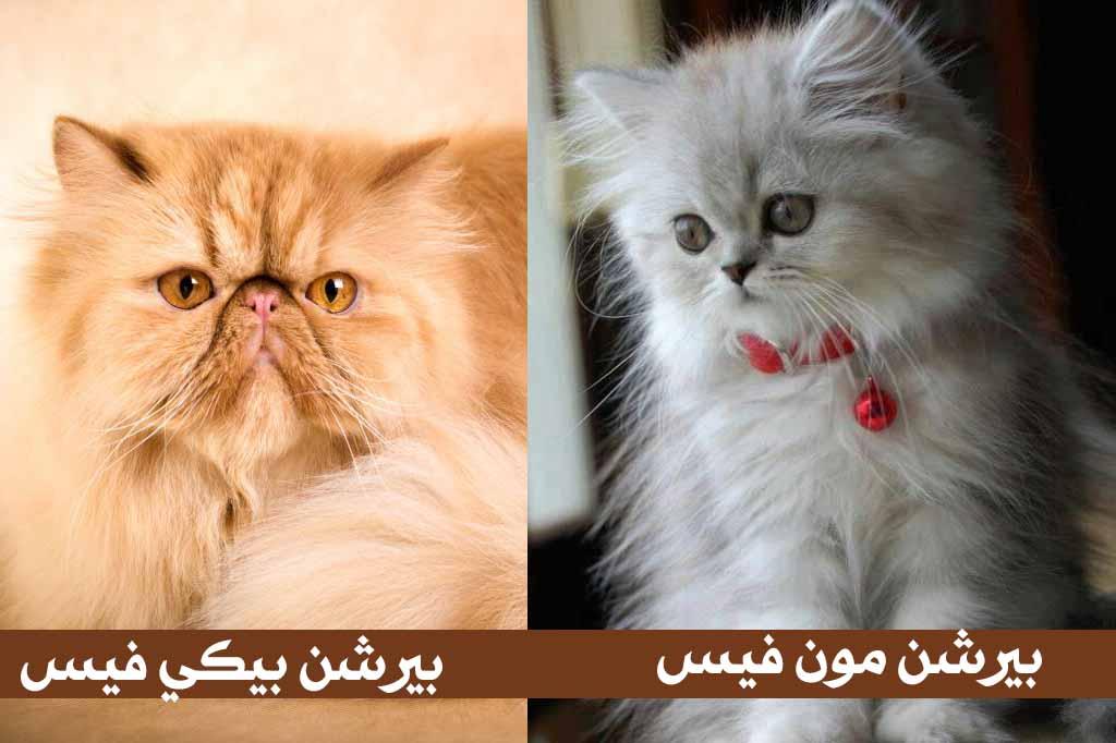 القطط الشيرازى: بيكي فيس .. قط شيرازي مون فيس بيور