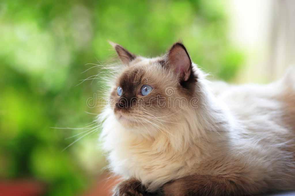 قط هيمالايا بلو بوينت
