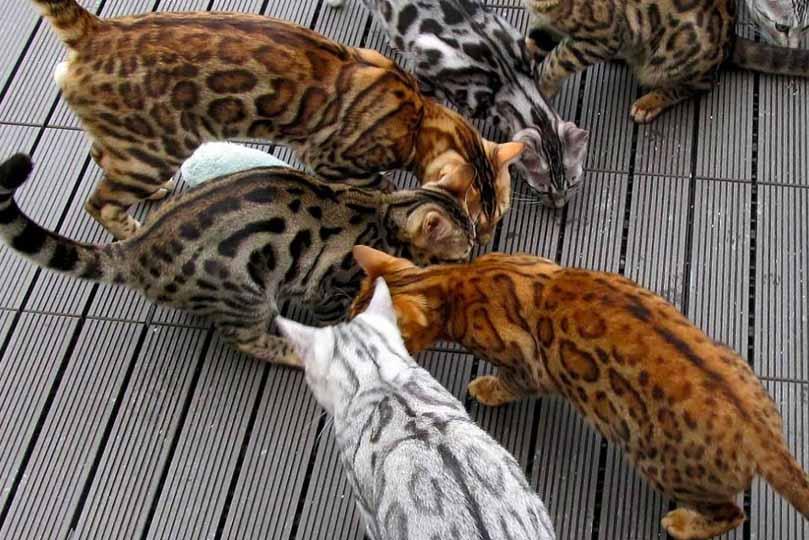 مجموعة قطط بنغالية بألوان ونقوش مختلفة ورائعة