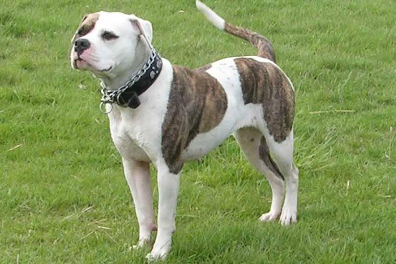 هناك الوان عديدة لكلب بول دوج الامريكي