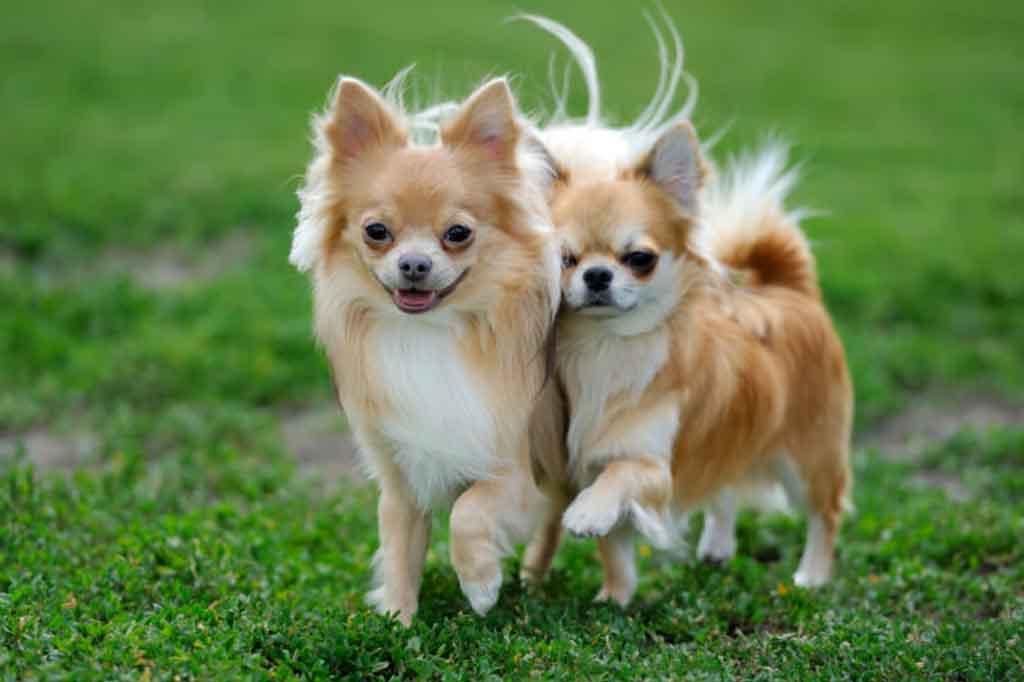 وزن كلب شيواوا حوالي كيلو ونصف الى ثلاثة كيلو جرامات