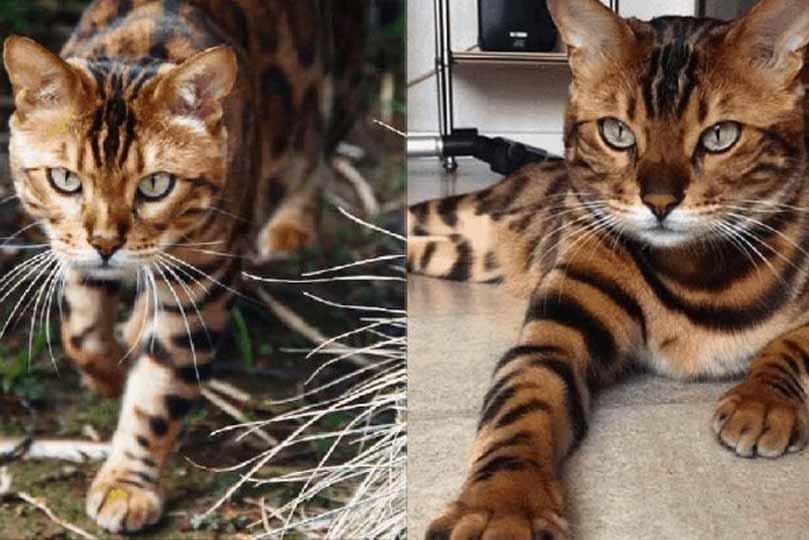 يتمتع قط البنغال بمظهر مهيب نسبة إلى أجداده في البرية