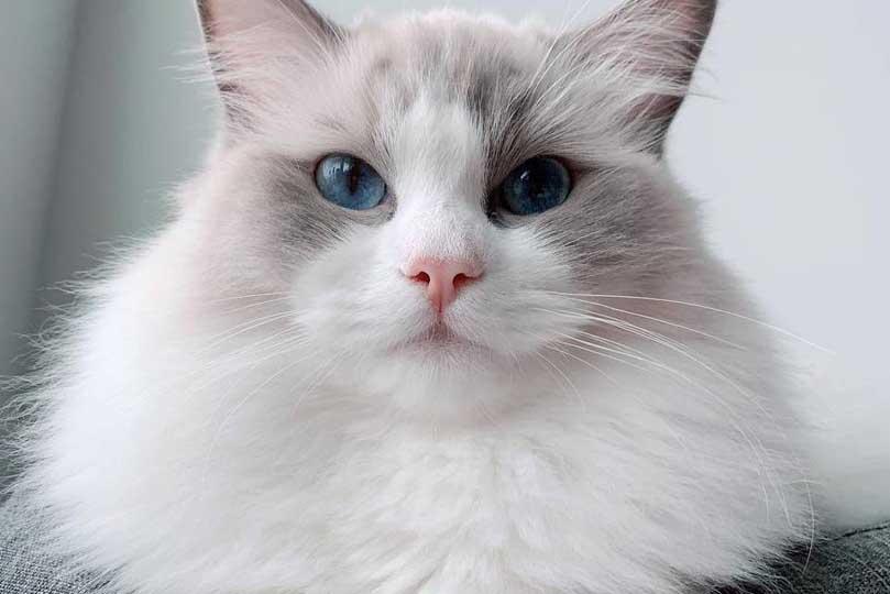يتمتع قط راغدول بأعين زرقاء جميله