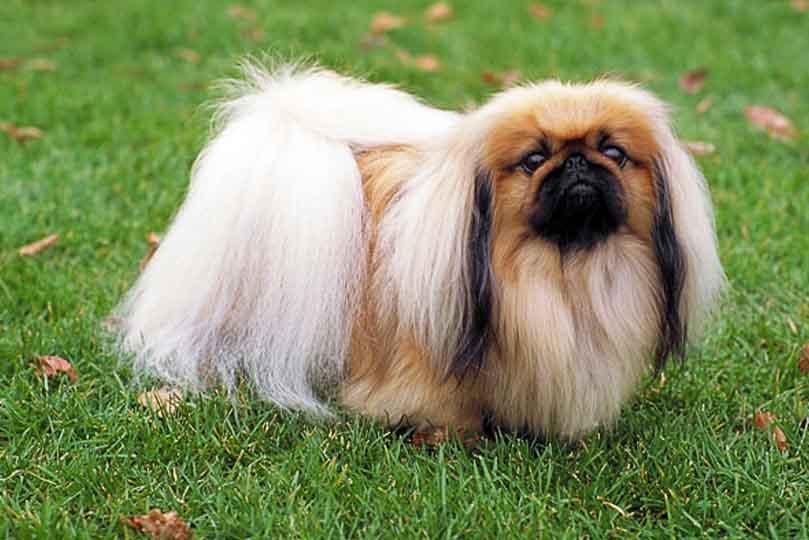 يتميز كلب البيكنيز بفراء طويل ومميز لذلك احرص على تمشيطه باستمرار