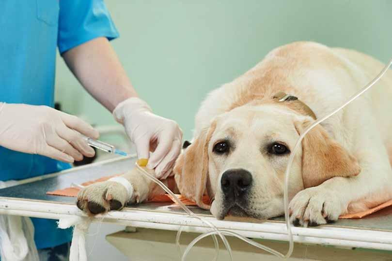 يقوم الطبيب-البيطري باعطاء المحاليل الوريدية بشكل يومي ومنع الكلب عن الاكل تماما حتى الشفاء
