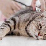 التدخل الجراحي هو أفضل حل في حالة اكتشاف مشكلة صديد الرحم عند القطط