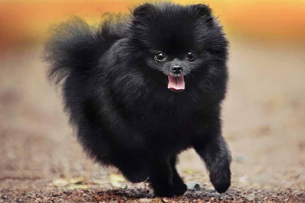 اللون الأسود من الألوان الشهيرة في كلاب بومرينيان