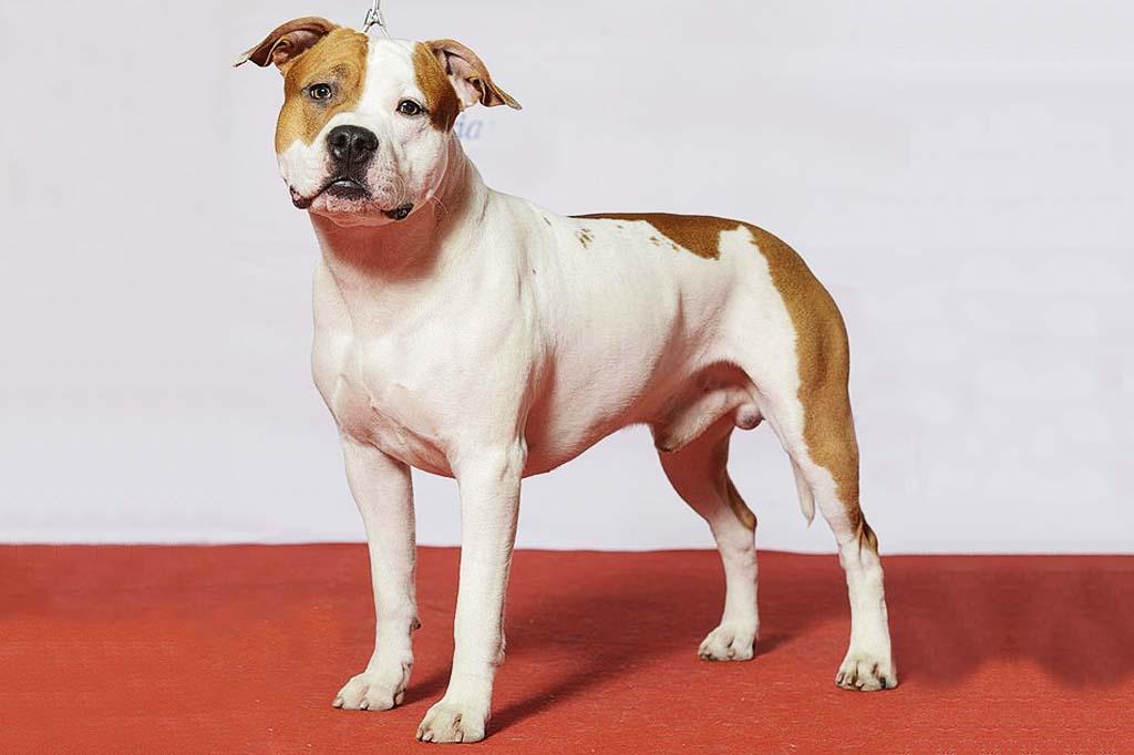 بيتبول ستانفوردشاير ترير الامريكي staffordshire terrier