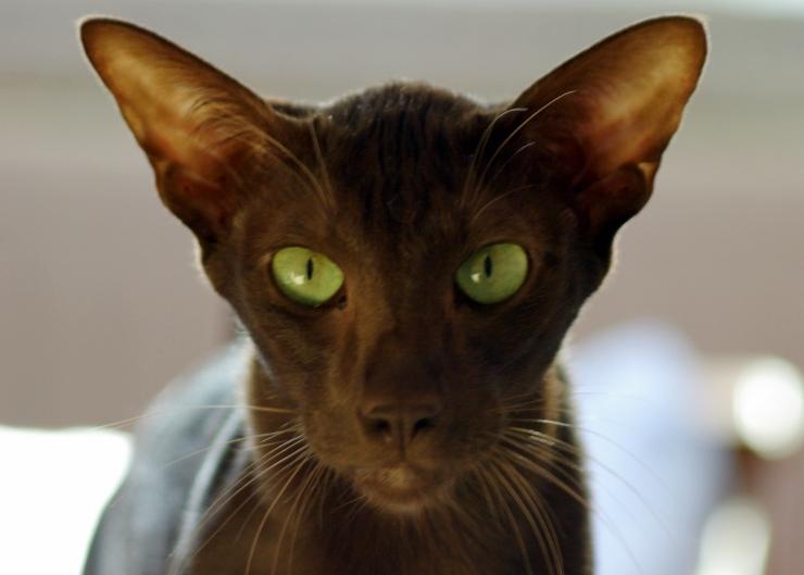 تتميز قطط هافانا بشكل رأس مميز و محبب كما يمتلك اذنين مميزيتين