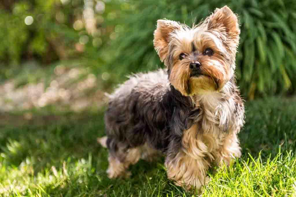 تتميز كلاب يورك شاير بحجم صغير و فراء طويل ولامع