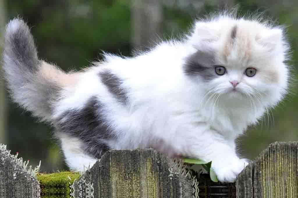 تعسر ولادة القطط يظهر بشكل كبير في القطط الهيمالايا و قطط بيرشن (الشيرازي)