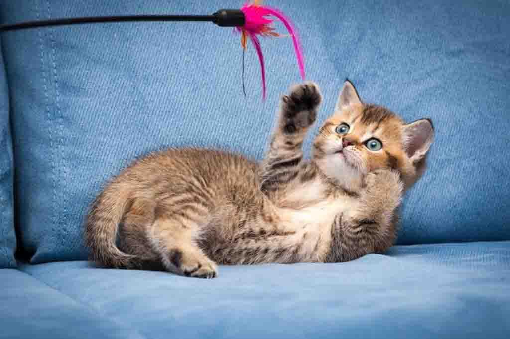 ستظهر القطط تجاوبا في التدريب إذا كان هناك تحفيز مناسب