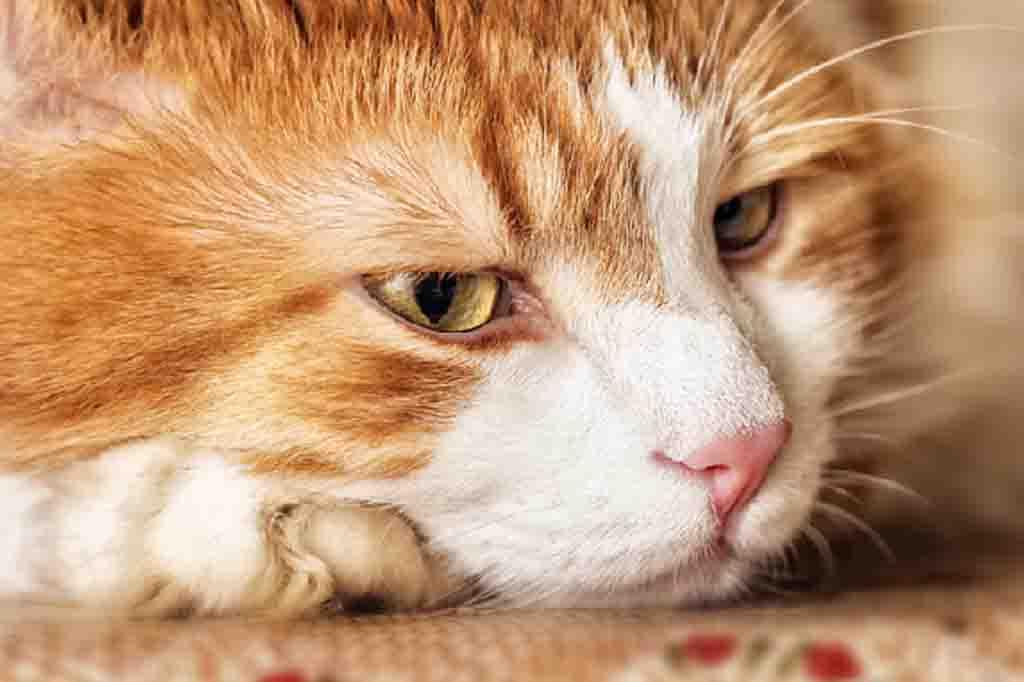 ستظهر على قطتك علامات التعب بشكل تدريجي او بشكل مفاجئ عند اصابتها بمشاكل القولون