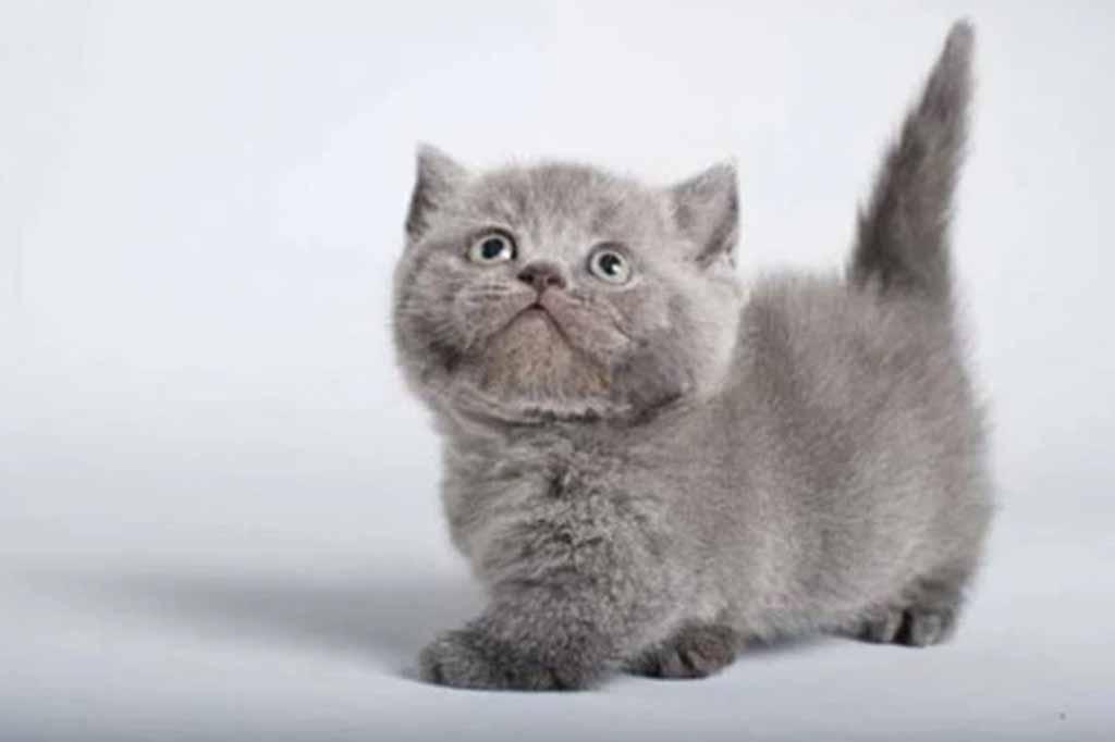 قطط سلالة مونتشكين تتميز بالعديد من الالوان الزاهية والتي اكتسبتها من كثرة تزاوجها والتجارب عليها