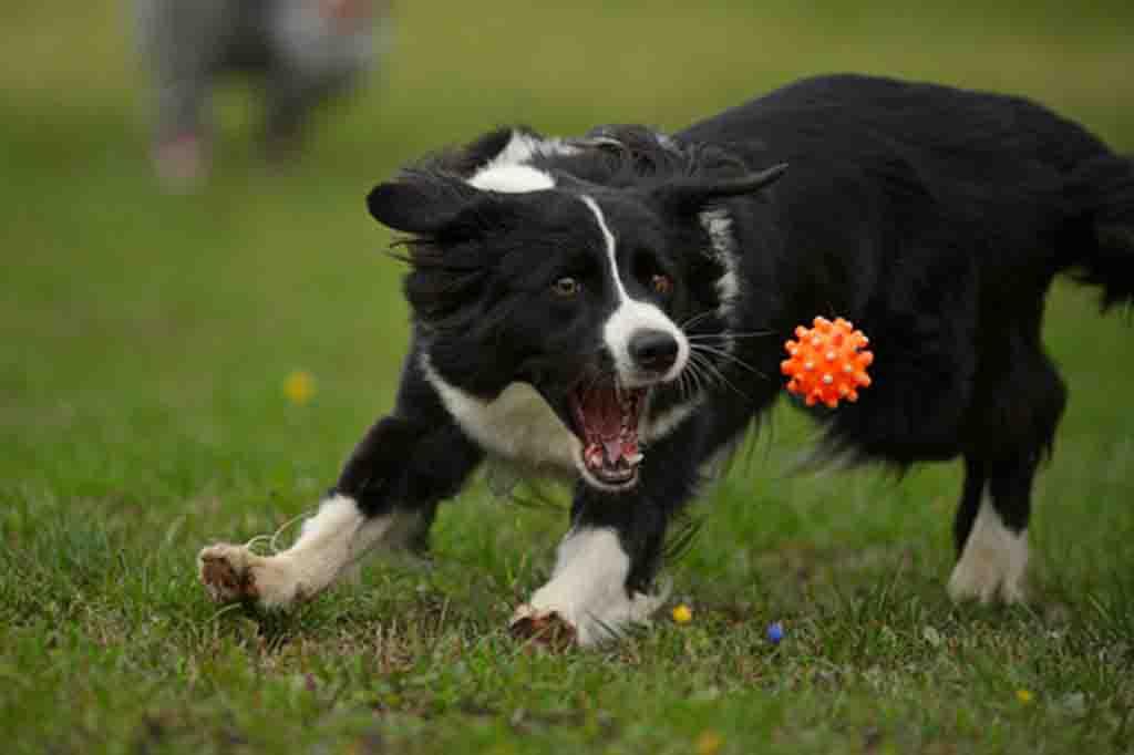 كلب البوردر كولي نشيط جدا لذلك احرص على اللعب معه وتدريبه بشكل يومي