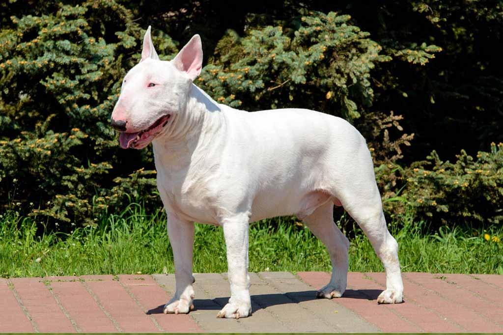 كلب بول ترير
