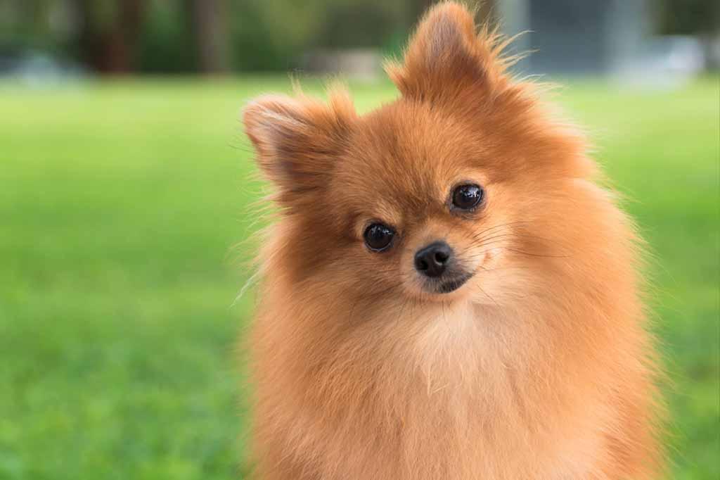 كلب بومرينيان لونه بني