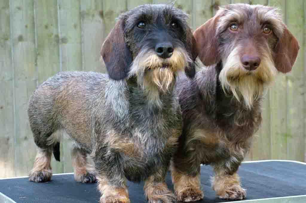 كلب داشهند ذو الشعر المجعد