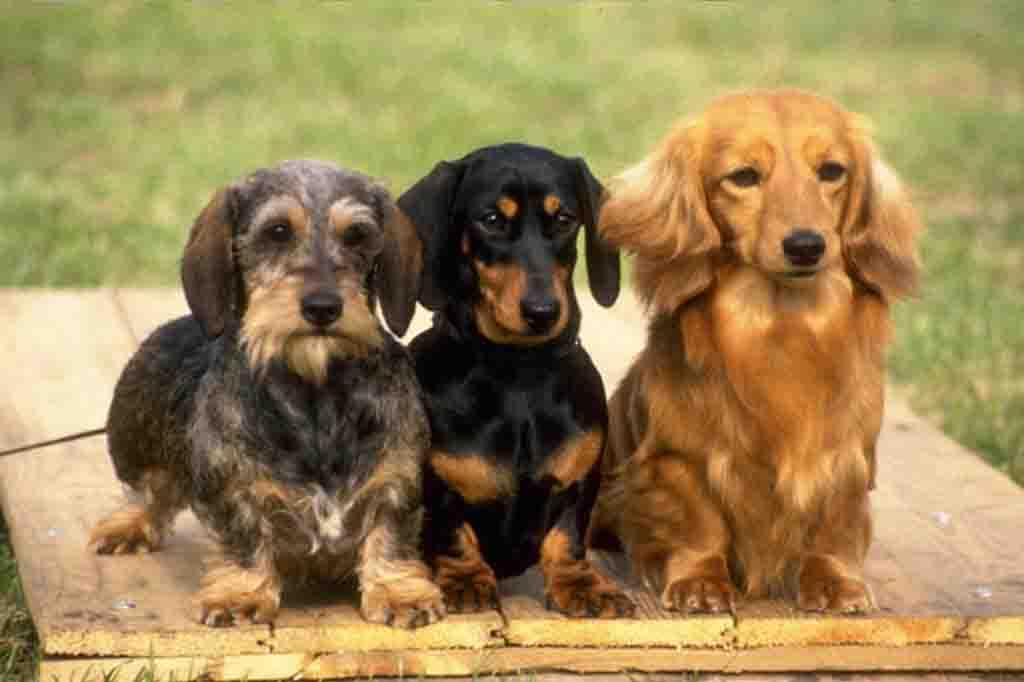 كلب داشهند ينقسم لثلاث انواع طبقا لشكل وطول الشعر
