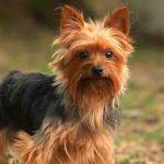 كلب يوركشاير يمكنه اللعب لساعات متواصله بدون ملل مع اصدقائه داخل المنزل او خارجه