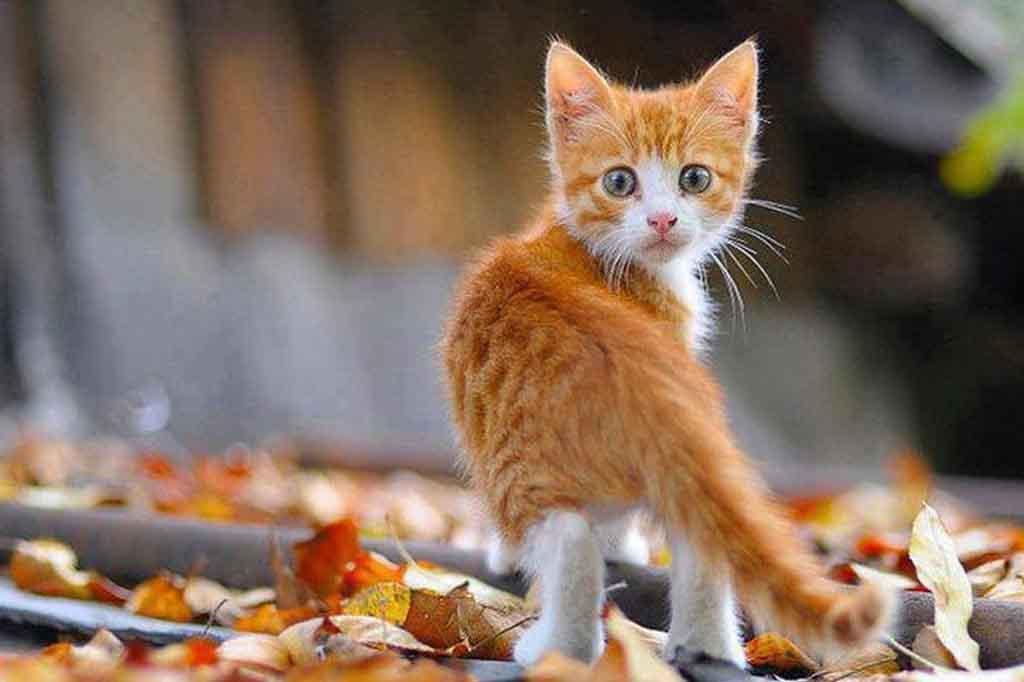 هل غياب القط عن المنزل فترة طويلة تجعله ينسى منزله