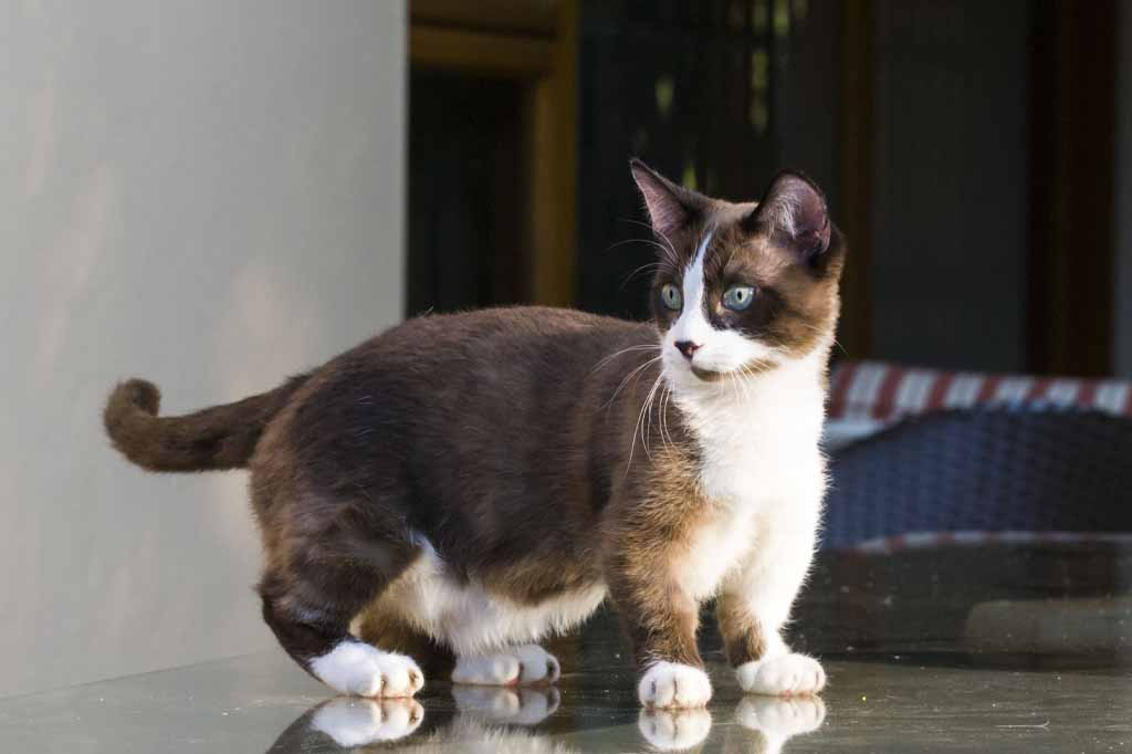 يتمتع قطط مونتشكين بسرعات كبيرة بسبب حجمها الصغير اقترابها الشديد من الارض