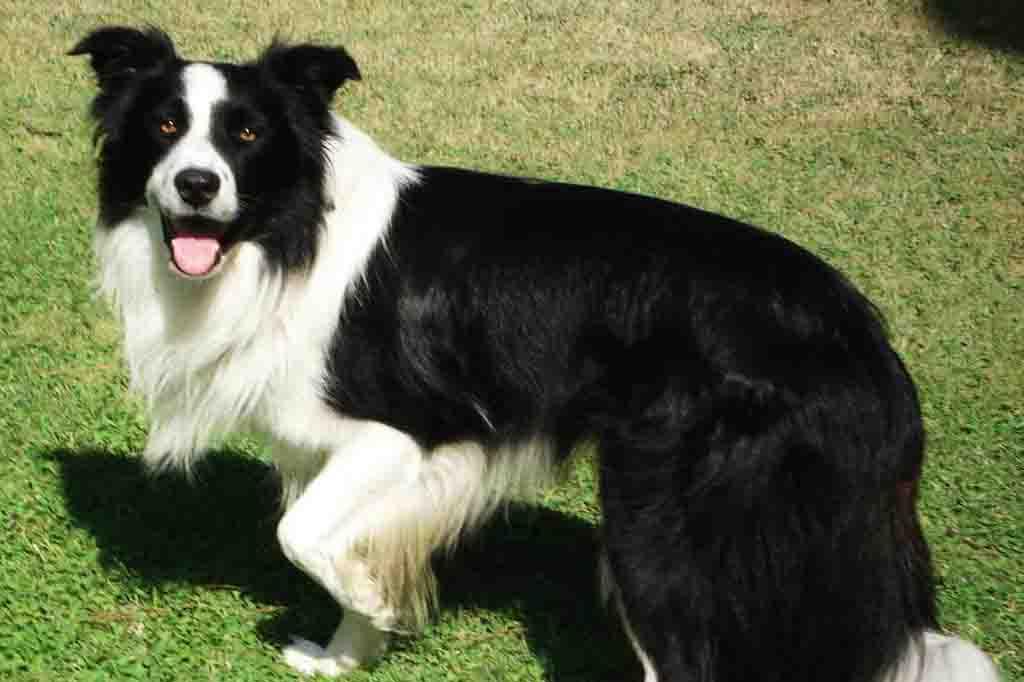 يمتلك كلب بوردر كولي شعر طويل احرص على تمشيطه باستمرار