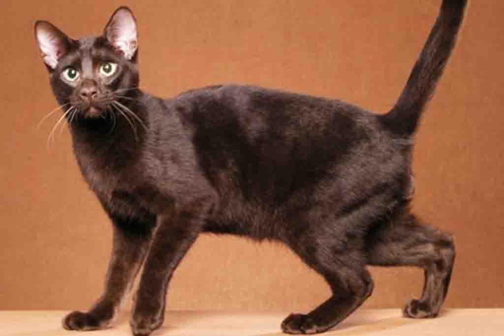 يمتلك هذا القط فراء يشبه حيوان المنك