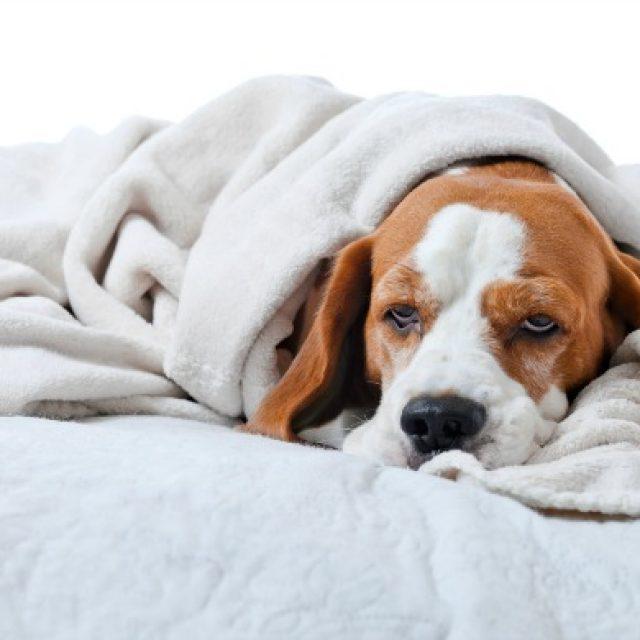 الخمول عند الكلاب : 5 أسباب رئيسية