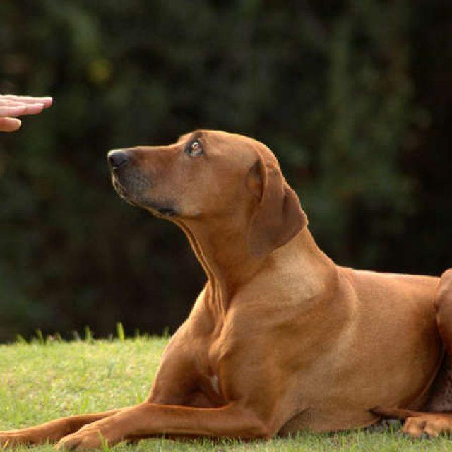 كيفية تنمية الطاعة في الكلب