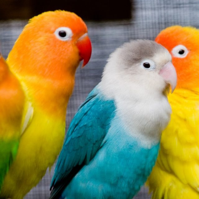 كل شئ عن تربية طائر الروز (طائر الحب)