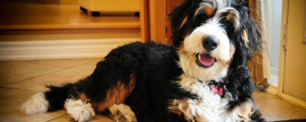 التهاب المرارة والقناة الصفراء في الكلاب