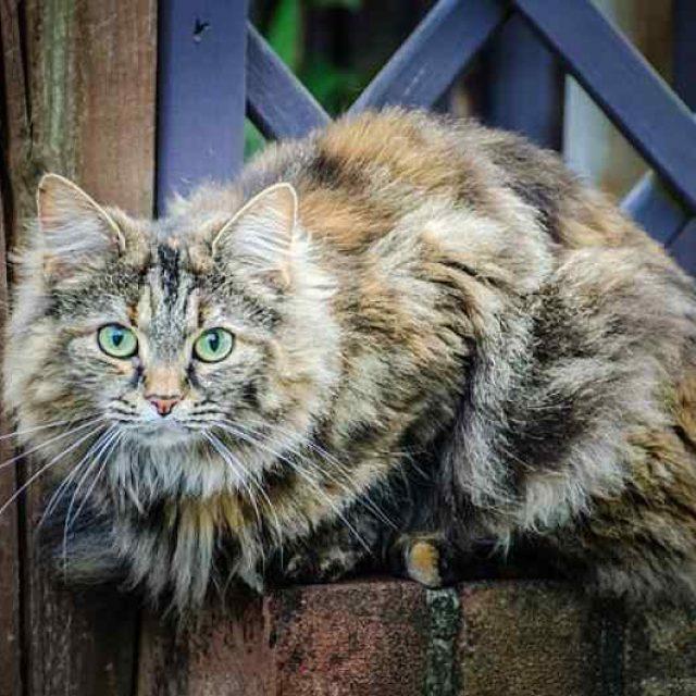 مرض الثعلبة في القطط وعلاجه