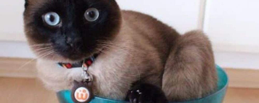 القطط السيامي : أجمل 7 صور لها و صفاتها بالتفصيل