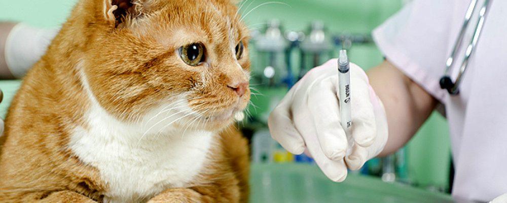 أضرار عدم تطعيم القطط وهل يمكن تأخير التطعيم ؟