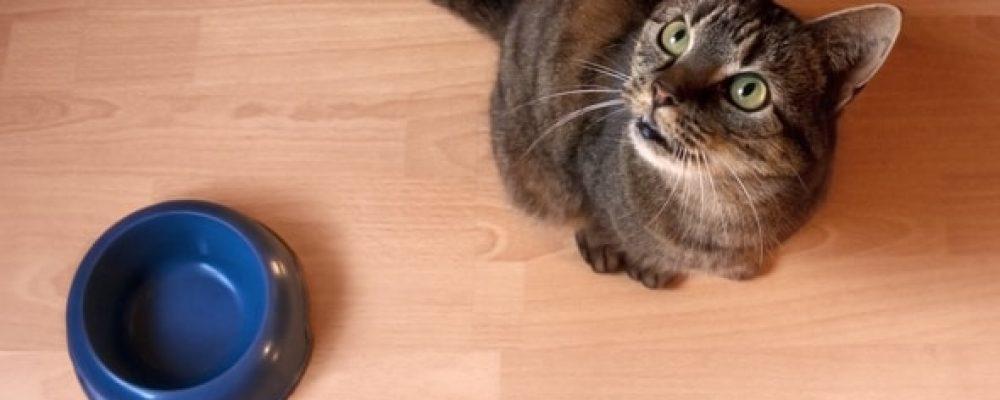 قطتي لا تشبع أبدا .. 3 أسباب تسبب الجوع المستمر لقطتك