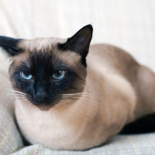 سرطان الغدد الليمفاوية في القطط