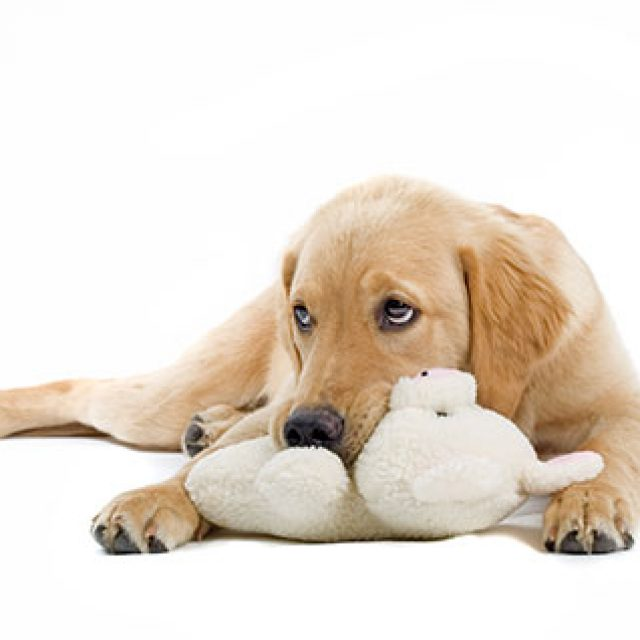 أعراض وعلاج الحمل الكاذب في الكلاب