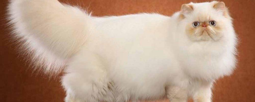 القطط الهيمالايا .. المزيج الساحر في عالم القطط