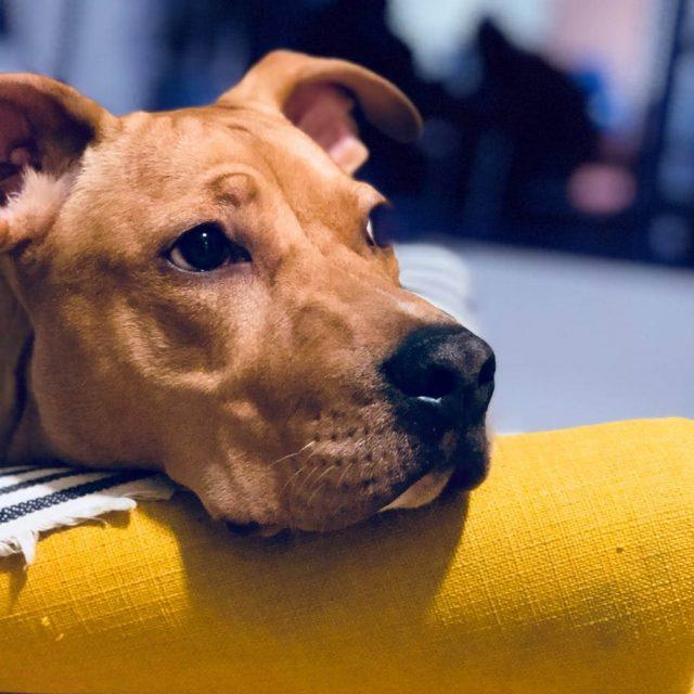 مرض تيزر في الكلاب Tyzzer Disease