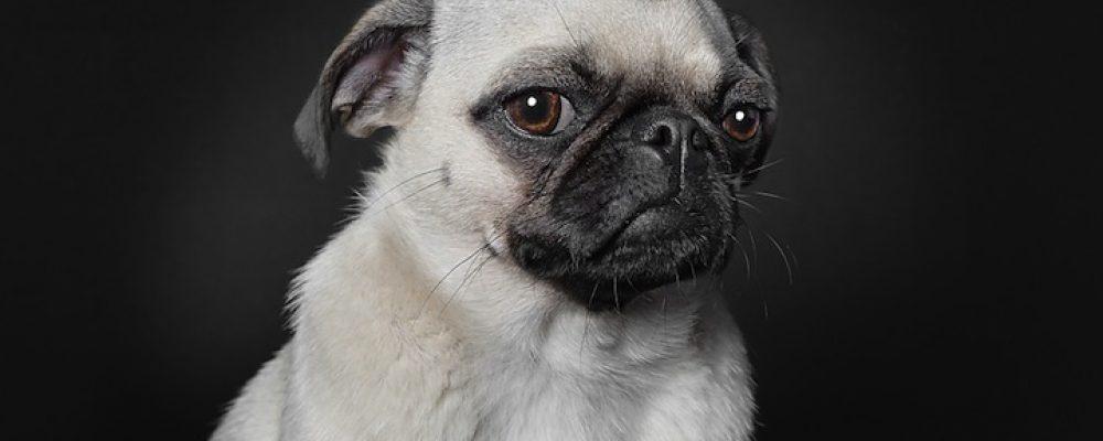 ماذا تعني لغة جسد الكلاب بالتفصيل