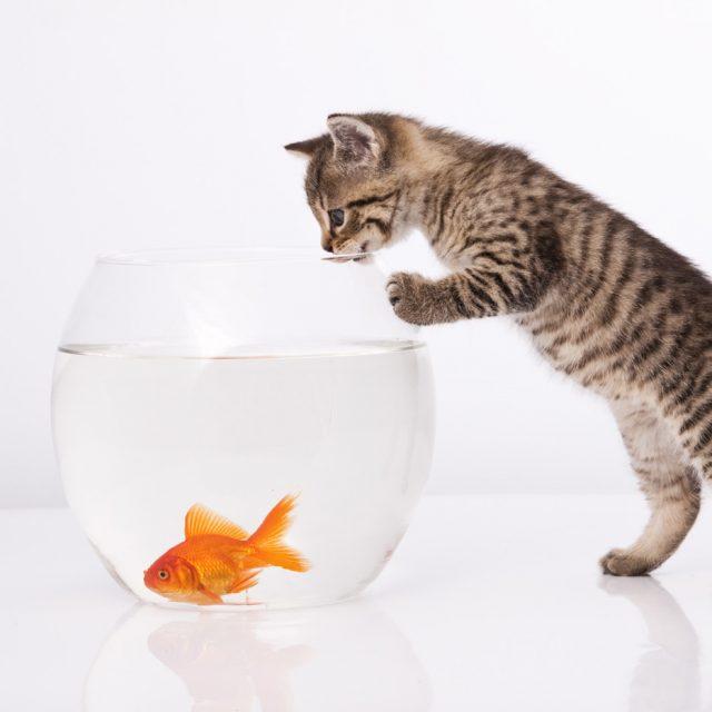 مخاطر تقديم الأسماك في طعام القطط