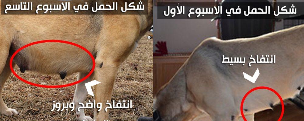 علامات الحمل عند الكلاب بالصور