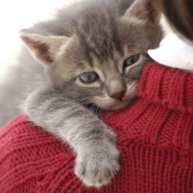 أنواع القطط المنزلية الأليفة التي تحب البشر بالصور